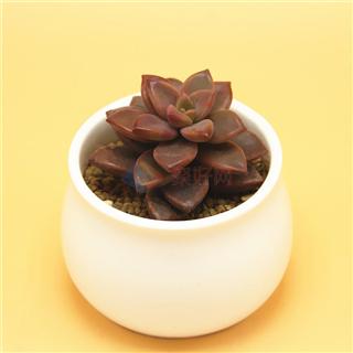 食脉 多肉植物组合盆栽套装含多肉营养土含陶瓷花盆