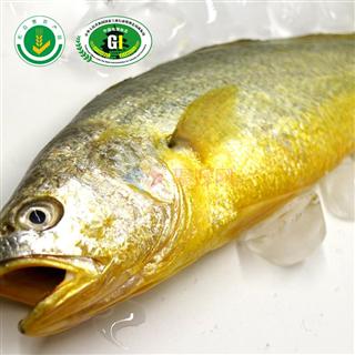 【年货单品】新鲜 海鲜无公害 野生大黄鱼黄花鱼 8~9两/条*1 礼盒装