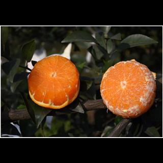 爱媛果冻橙     5斤13-16个     中果 新疆、西藏不发货